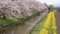 riverside tour, cherry blossom, cherry tree 46788431