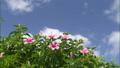 hibiscus_juice_vol_1_032 46798852