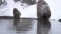 온천의 입욕을 많이 좋아지고 쿠 다니 야생 원숭이 公苑의 원숭이 (snow monkey) 46832862