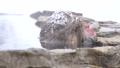 非常喜歡溫泉的洗澡的Jigokudanino猴子公園的日本猴子(雪猴) 46832863