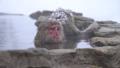 非常喜歡溫泉的洗澡的Jigokudanino猴子公園的日本猴子(雪猴) 46832865