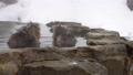 非常喜歡溫泉的洗澡的Jigokudanino猴子公園的日本猴子(雪猴) 46832867