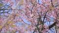 นก,ซากุระ,ดอกไม้บาน 46866965
