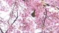 เชอร์รี่,นก,ซากุระ 46866976