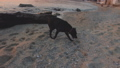 Adolescent black dog walks on beach sniffing something in sand and stones 46890962