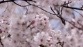Sakura Somei Yoshino Focus feed回到前面 46908168