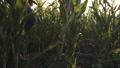 トウモロコシ コーン とうもろこしの動画 46971608