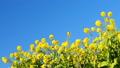 青空と菜の花 2019 フィクス撮影 47101980
