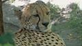 Lying jaguar closeup portrait 47150378