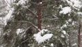 heavy snowfall is on the background of the winter forest 47224235