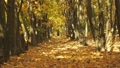 Rows of trees in autumn forest. Medium shot 47398166