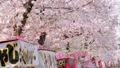 満開の桜並木と屋台と花見客 岩倉桜まつり ティルトアップ 47418947