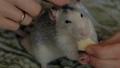 動物 鼠 ねずみの動画 47426116