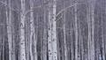 자작 나무 숲과 내리는 눈 47456833