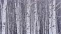 자작 나무 숲과 내리는 눈 47456834