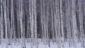 자작 나무 숲과 내리는 눈 47456835