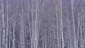 자작 나무 숲과 내리는 눈 47456838