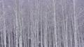 자작 나무 숲과 내리는 눈 47456842