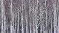 자작 나무 숲과 내리는 눈 47456915