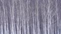 자작 나무 숲과 내리는 눈 47456917