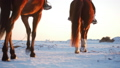 Horses With Riders and the Winter at Sunset, Close 47534160