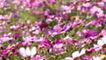 Autumn image ~ Autumn cherry (zoom up) ~ 47598083