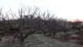 소가 매화 나무 숲 47622593