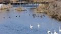 水原川の白鳥 47638705