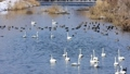 Swanning swan 47638706