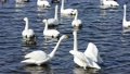 Suwon River Swan Flying Dest 47638707