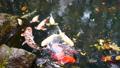 池塘 鱼 湖泊 47642570