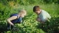 Children collect strawberries in the garden. A clear summer day on the farm 47681701