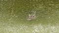 鳄鱼 水 泰国 47726312