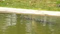 鳄鱼 水 爬行动物 47726314