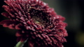 closeup red flower with sparkling water drops on petals 47730915