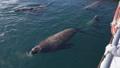 Rookery Northern Sea Lion on Pacific Coast 47735828