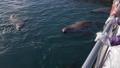 Rookery Northern Sea Lion Eumetopias Jubatus 47735829