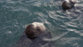 Steller Sea Lion or Northern Sea Lion in Pacific 47735833