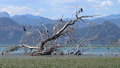 Cormorant birds on Lake Skadar in Montenegro 47792775