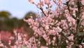 梅の花  2019 フィクス撮影 47887785