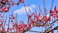 梅の花 2019 フィクス撮影 47887791