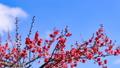 梅の花 2019 フィクス撮影 47887793