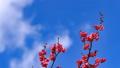 梅の花 2019 フィクス撮影 47887795