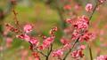 梅の花  2019 フィクス撮影 47887799