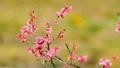 梅の花  2019 フィクス撮影 47887801