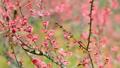 梅の花  2019 フィクス撮影 47887805