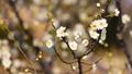 梅の花 2019 フィクス撮影 47901757