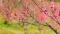 梅の花  2019 フィクス撮影 47901758