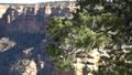Grand Canyon National Park South Rim Pine Tree 47980644