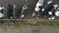 Cows eat while standing in stalls, top view. 48008549